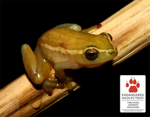 Pickersgill's Reed Frog - the focal species of the EWT's Threatened Amphibian Programme.