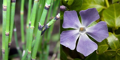 snakegrass&periwinkle